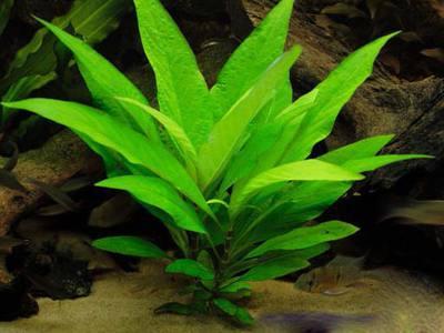 Аквариумное растение лимонник: особенности содержания и выращивания, фото