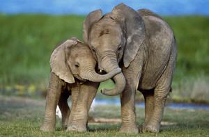средняя продолжительность слонов