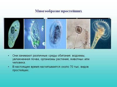 Простейшие одноклеточные организмы: классификация, виды, где обитают