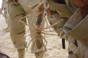 Верблюжий паук-самые большие и опасные пауки