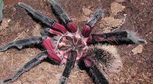 Лососево-розовый паук-птицеед  -самые большие и опасные пауки