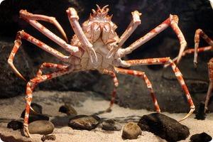 Гигантский Крабовый паук--самые большие  пауки