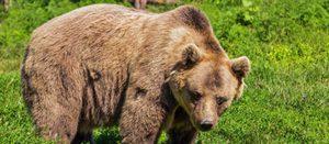 Как быстро умеет бегать бурый медведь
