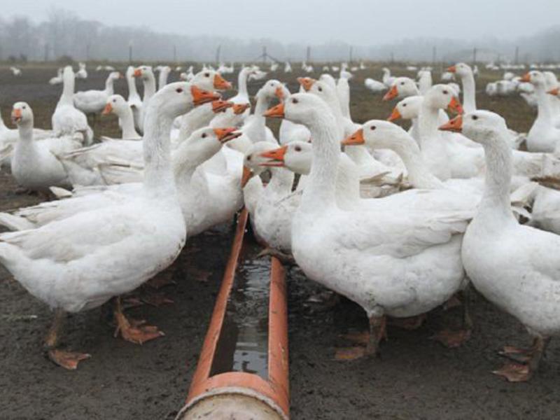 Рентабельность выращивания гусей 43