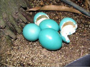 Яйца в гнезде дрозда