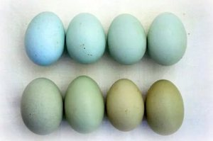 Яйца разного окраса у разных птиц