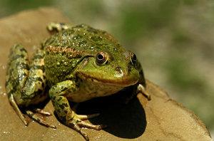 Озерная лягушка-описание